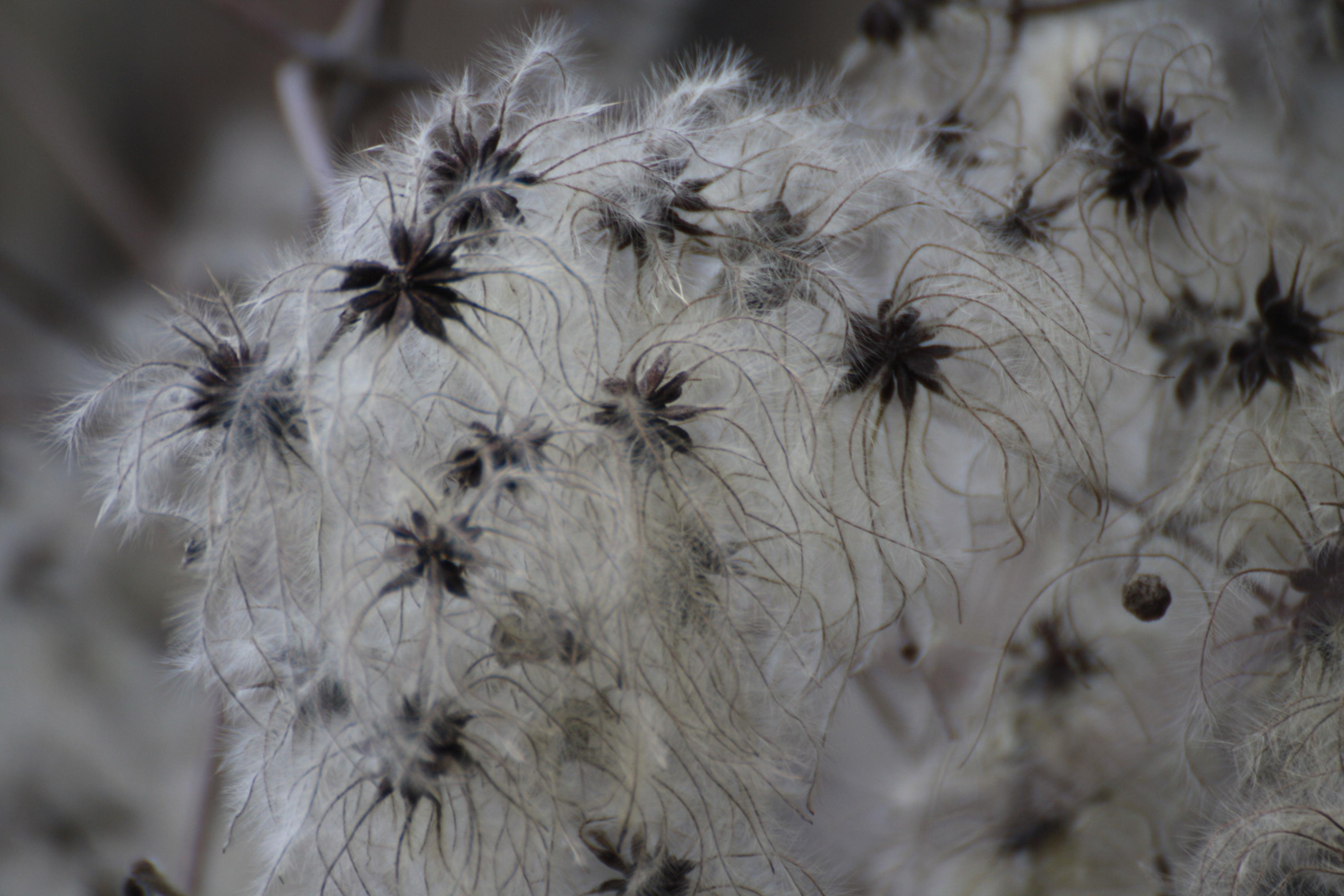 Flore et Faune de chez nous : La clématite sauvage