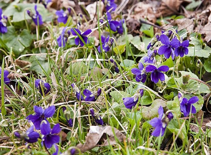 La violette de mars